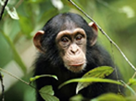 chimpanzee tracking safari,