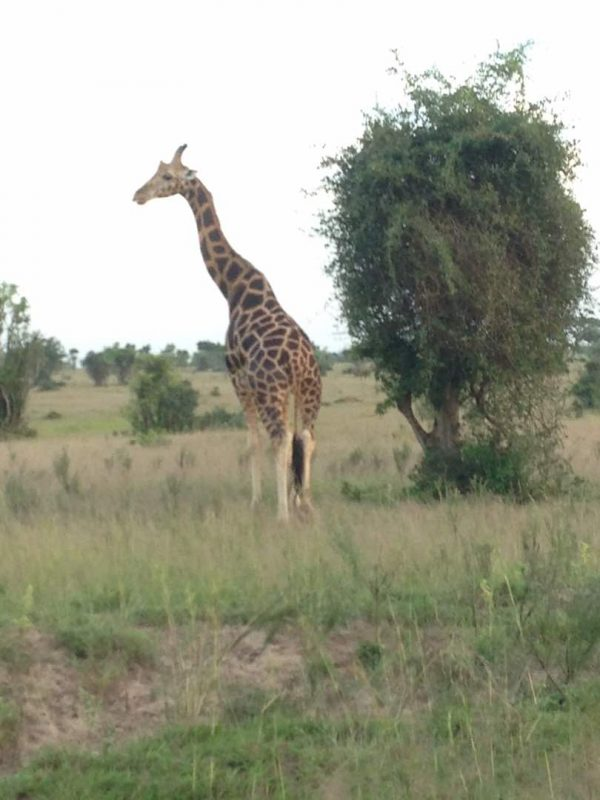 Bowitours rothschild giraffe