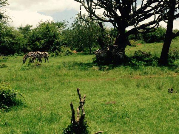 zebras lake mburo bowitours