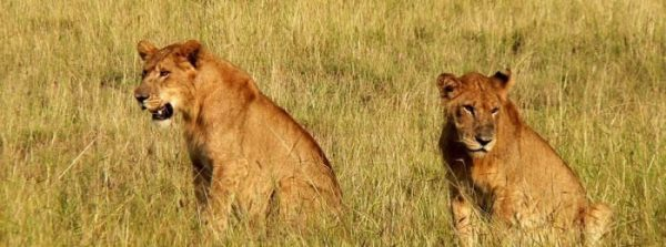 Bowitours lions kidepo NP