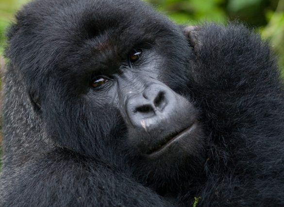 gorillas-of-bwindi-13932567812